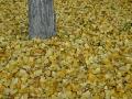 Tappeto di foglie di una ginko al Parco Leopardi