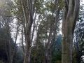 Viali di platani secolari all'ingresso del Parco Leopardi
