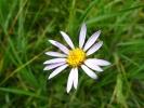 Un fiore di campo spontaneo